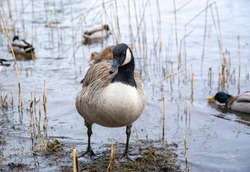Canada goose on the shore of Seurasaari island, Helsinki, Finland