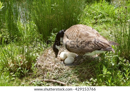 canada goose protect her eggs