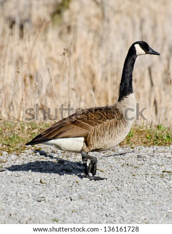 Canada goose walking on a gravel road and carrying as nest building material a piece of dry grass in her beak