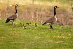 Canada goose with gosling on the Meadow.. Natural scene from Wisconsin.