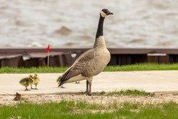 Canada goose with gosling on the shore in the harbor. Wild geese sometimes nest near human agglomerations and come near human dwellings.