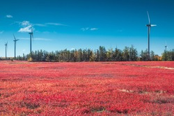 Canada, New Brunswick, Acadian Peninsula. Little Shippagan, wind turbines and cranberry field in autumn.