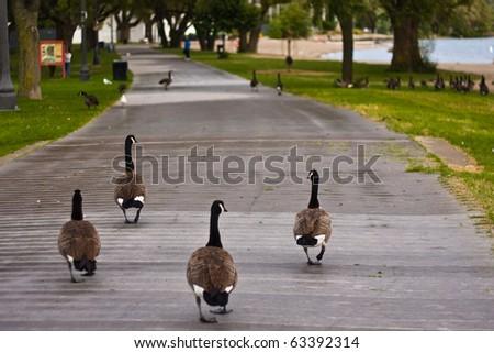 Canada wild goose