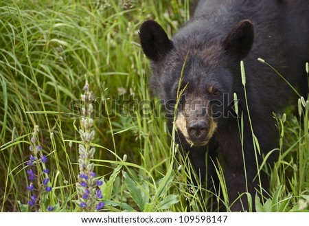 Canadian Black Bear - Young Black Bear Spotted Near Squamish, BC, Canada. Black Bear Closeup. Wildlife Photography Collection