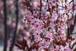 Canadian black plum Prunus light pink flowers in bloom, beautiful flowering ornamental shrub with brown red leaves on branches in sunlight