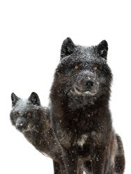 canadian black wolfs during snowfall isolated on white background