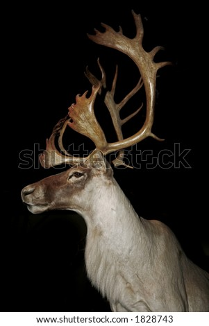 Canadian Caribou isolated on black