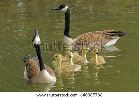 Canadian geese family swimming in a pond/geese with babies swimming/geese and babies in the water