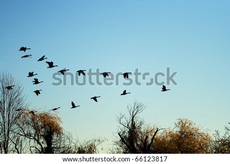 Canadian Geese Flying at Sunrise