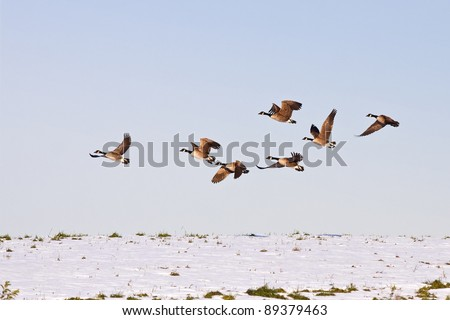 Canadian Geese flying from snow covered hilltop in Lancaster County,Pennsylvania,USA.