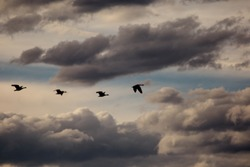 Canadian geese follow in a line flying across a cloud filled sky.