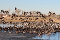 Canadian geese in flight.  Frozen and thawing lake in foreground with hundreds of geese resting.  Blue sky and water with dormant grass in background.