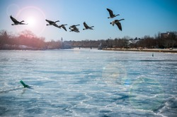 Canadian Geese Over Frozen River. Canadian Geese flying over a frozen river with lens flare, in Port Credit, Mississauga, Ontario, Canada.