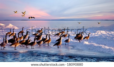 Canadian geese stay in winter at the beach of Lake Ontario