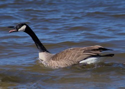 Canadian Goose gander displaying its tongue while hissing.