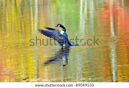 Canadian goose in a pond reflecting autumn colors #89049550