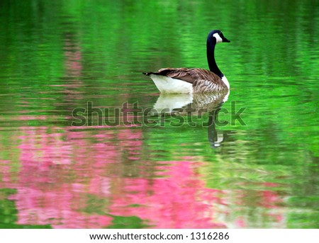 Canadian goose in a pond with azalea in bloom reflection