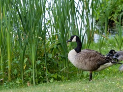 Canadian goose in nature standing in the tall grass along a lake.  Wildlife water fowl in nature.