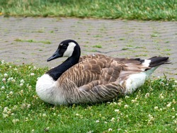 Canadian goose laying in the grass near a brick walking path in a park.  Wildlife bird with brown feathers.