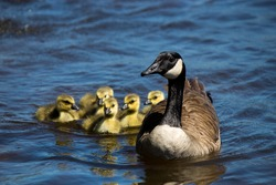 Canadian goose swimming with thier goslings.