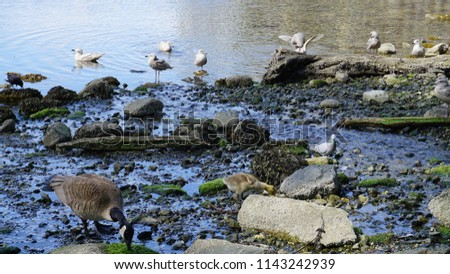 Canadian goose with gosling, crown. pigeon and seagulls are eating fresh and healthy seafood at the shoreline.