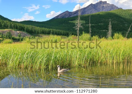 Canadian gull and Vermilion Lakes landscape. Banff National Park, Alberta, Canada