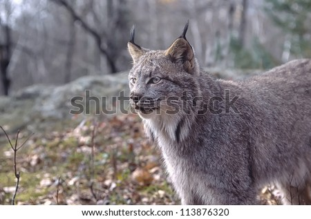 Canadian lynx in Northern Minnesota forest
