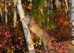Canadian Lynx on hind feet scratching a Birch tree in an Autumn forest
