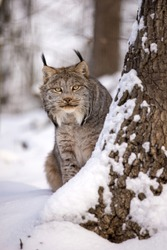Canadian lynx stalking peeps around a tree in winter. Canada lynx sitting in a snowy nature in the sunny weather. Wildlife scene from Rocky Mountain National Park of North America. Lynx canadensis