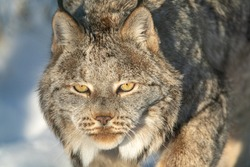 Canadian lynx with full face, orange yellow eyes in frame with partial body in background. Seen in winter with snow background out of focus.