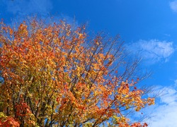 Canadian maple tree with vivid orange leaves looking upward lightly cloudy blue sky background with copy space