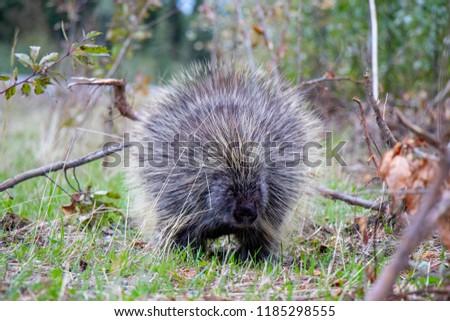 Canadian Porcupine, North Yukon, Canada