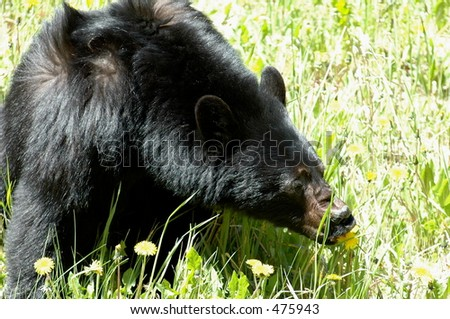 Canadian Rockies Bear