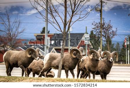 Canadian Rocky mountains Bighorn sheep #1572834214