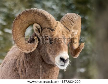 Canadian Rocky mountains Bighorn sheep #1572834220