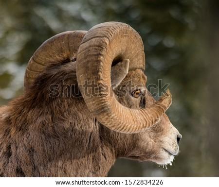 Canadian Rocky mountains Bighorn sheep #1572834226