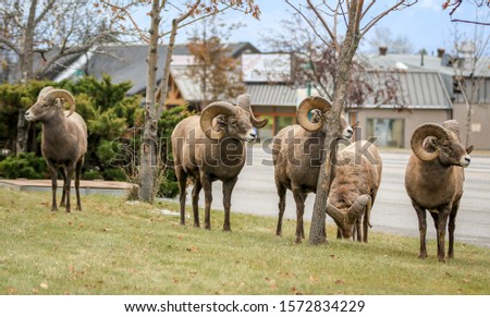 Canadian Rocky mountains Bighorn sheep #1572834229