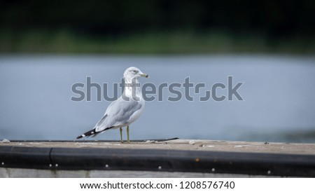 canadian seagull on dock