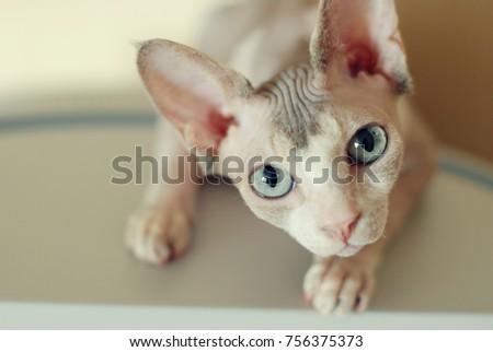 Canadian Sphynx cat and newborn kittens