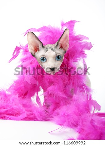 Canadian Sphynx cat head with pink feather boa close-up on white background