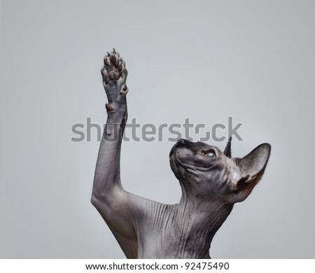 Canadian sphynx cat  lifting its paw