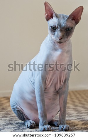 Canadian sphynx cat  portrait with one visible ear and eye