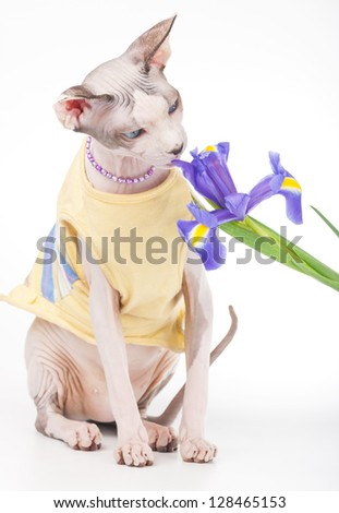 Canadian Sphynx cat wearing yellow dress  looking at iris flower on white background