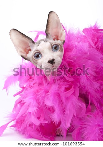 Canadian Sphynx cat with pink feather boa on white background