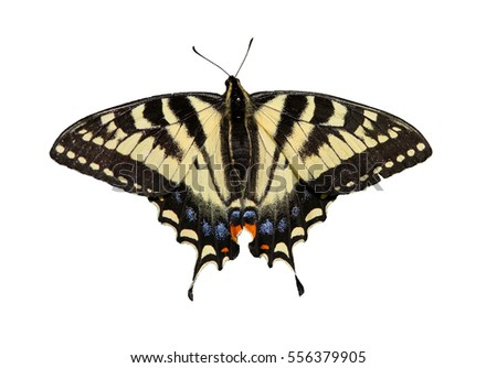 Canadian Tiger Swallowtail on white background