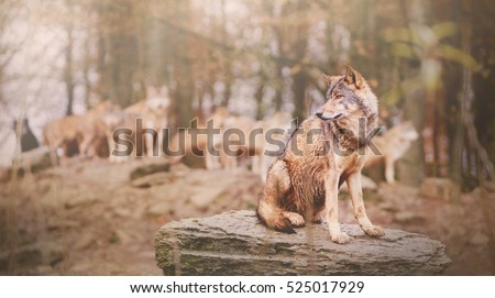 Canadian Timber Wolf Sitting on the Stone in front of Pack on the Blurred Background (Low Depth of Field)