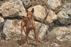 Canarian Podenco warren hound purebred dog in the field