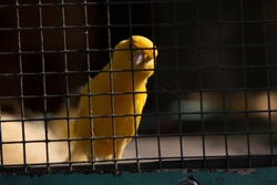 canary bird in cage with blur background