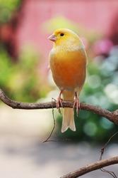 canary bird sitting on a twig