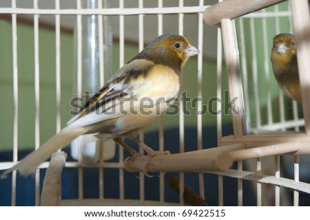 Canary in his cage